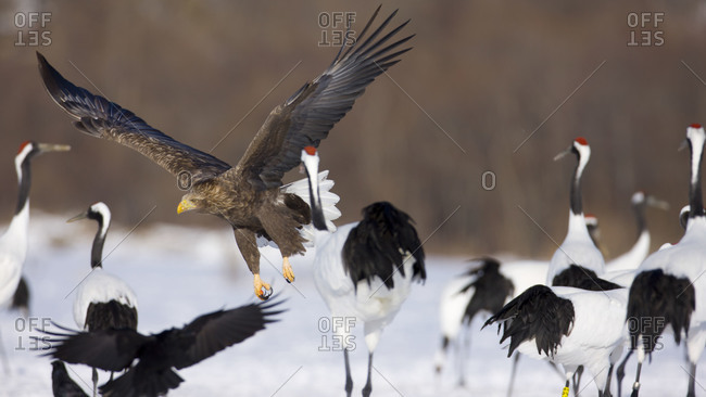A White Tailed Eagle flies low through a group of Japanese Red-Crowned Cranes in island of Hokkaido, Japan.
