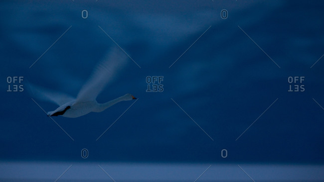 Evening flight of an adult whooper Swan, in the island of Hokkaido, Japan.