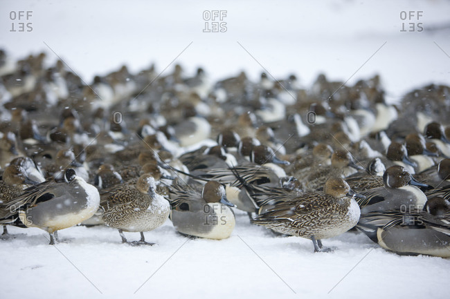 Flock of pintails weather the storm on the beach of the Inawashiro Lake in Fukushima Prefecture, Japan.