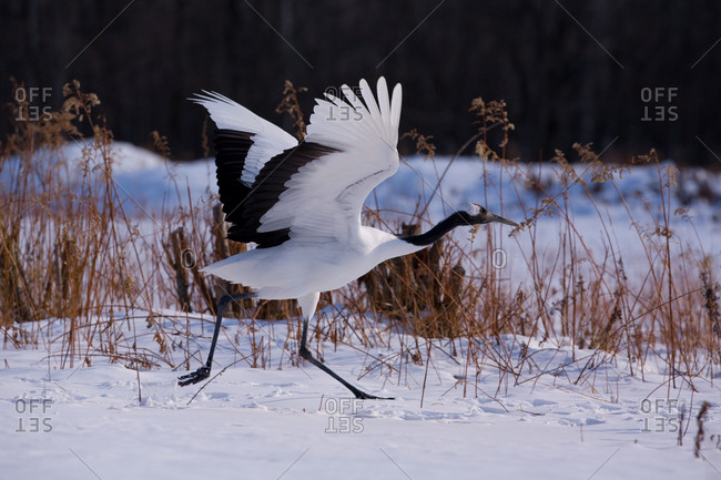 Japanese red-crowned crane take off in Akan National Park, island of Hokkaido, Japan.