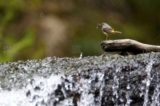 Gray wagtail with insect standing on a branch in Fukushima Prefecture, Japan.
