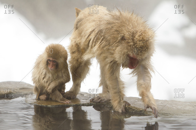 Short tailed female Japanese macaque with her child by the hot spring in Jigokudani Monkey Park, Nagano Prefecture, Japan