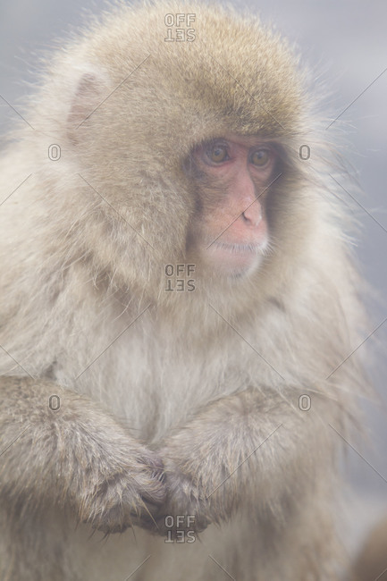 Portrait of a young Japanese macaque in Jigokudani Monkey Park, Nagano Prefecture, Japan