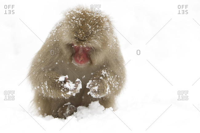A Japanese macaque sitting in the snow in Jigokudani Monkey Park, Nagano Prefecture, Japan