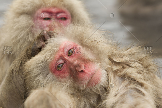 Red faced Japanese macaques grooming each other in Jigokudani Monkey Park, Nagano Prefecture, Japan