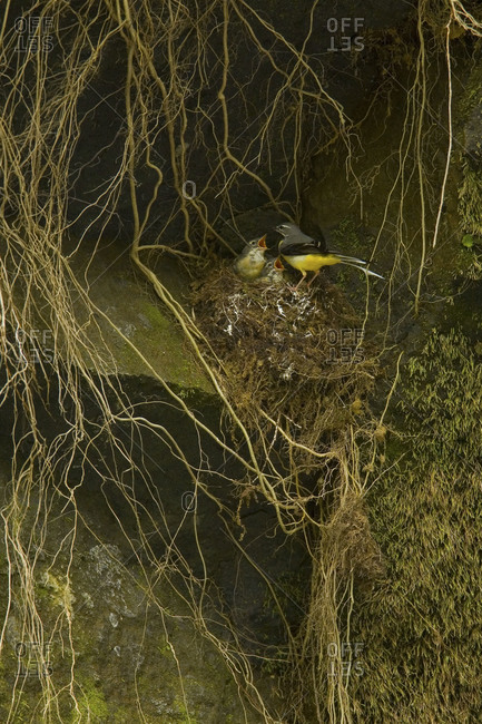 Gray wagtails in nest in Fukushima Prefecture, Japan.