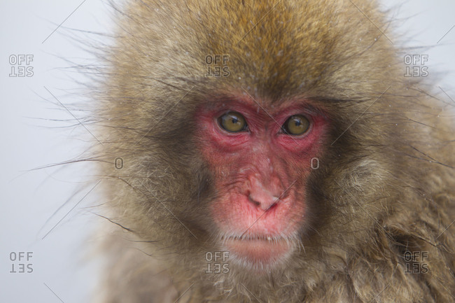 Portrait of a young Japanese macaque in Jigokudani Monkey Park, Nagano Prefecture, Japan.