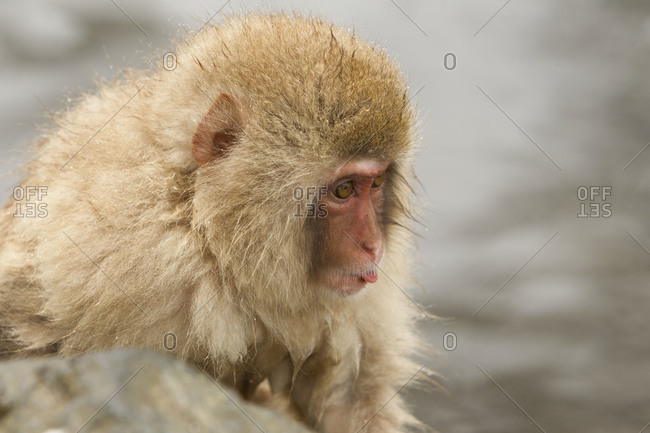 Young Japanese macaque sitting next to a hot tub in Jigokudani Monkey Park, Nagano Prefecture, Japan