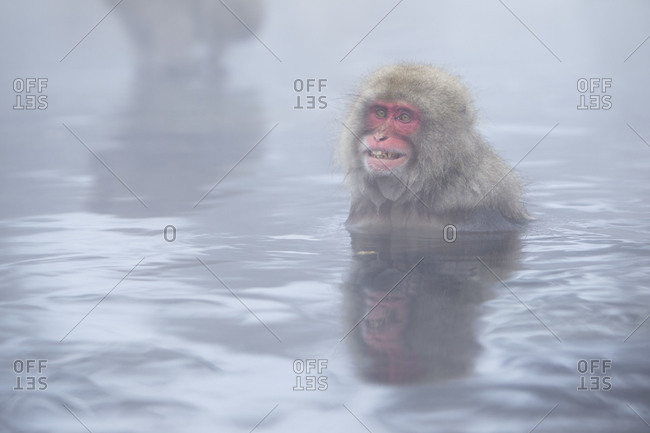 Red faced Japanese macaque bathing in Jigokudani Monkey Park, Nagano Prefecture, Japan