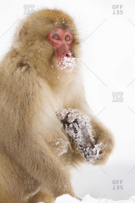 Japanese macaque with snowy lips sitting in the snow in Jigokudani Monkey Park, Nagano Prefecture, Japan