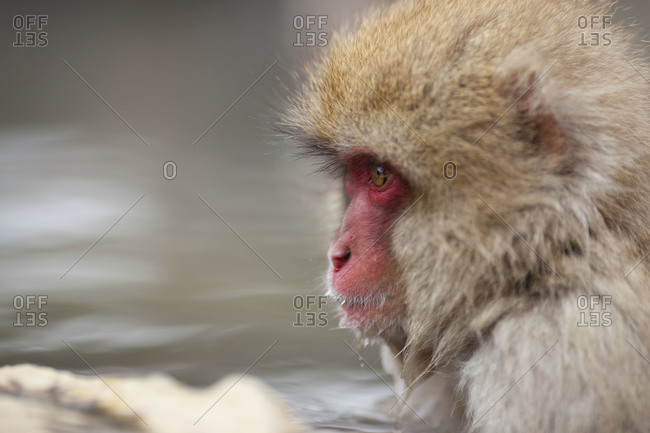 Japanese Macaque Monkey meditating in the hot spring  in Jigokudani Monkey Park, Nagano Prefecture, Japan