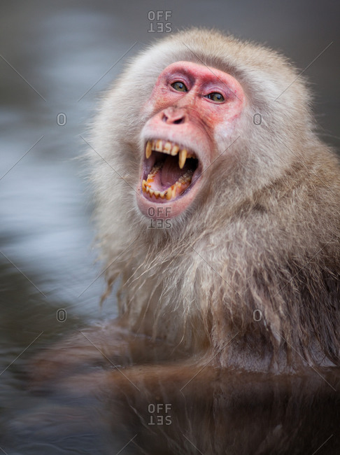 Japanese Macaque Monkey screaming while taking a hot bath in Jigokudani Monkey Park, Nagano Prefecture, Japan.