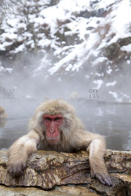 A contemplative Japanese macaque taking a hot bath in Jigokudani Monkey Park, Nagano Prefecture, Japan.