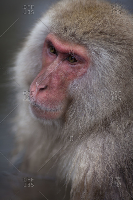 Portrait of a Japanese macaque sitting in the hot spring in Jigokudani Monkey Park, Nagano Prefecture, Japan.
