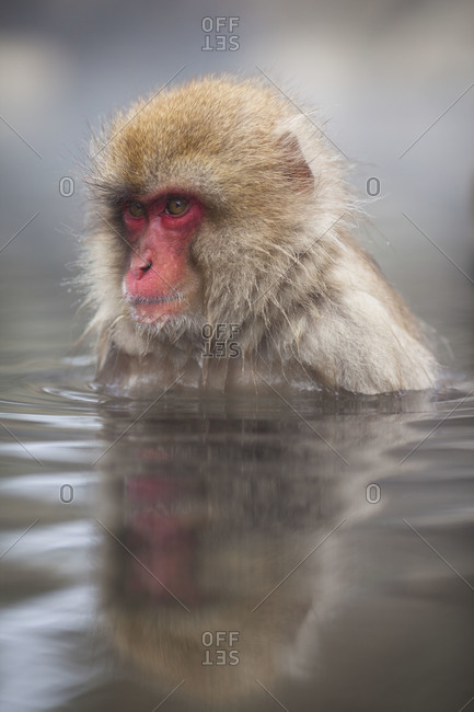 A Japanese macaque sitting in the hot spring in Jigokudani Monkey Park, Nagano Prefecture, Japan.