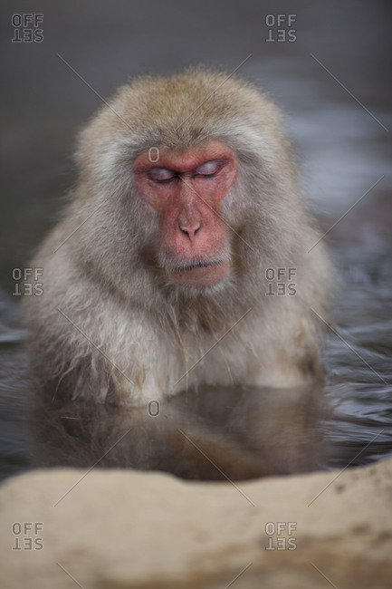 Japanese Macaque Monkey sleeping in the hot spring  in Jigokudani Monkey Park, Nagano Prefecture, Japan