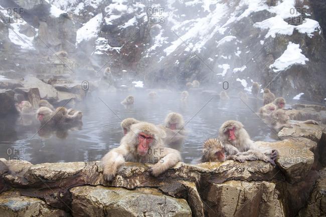 Group of Japanese macaques taking a hot bath in Jigokudani Monkey Park, Nagano Prefecture, Japan.
