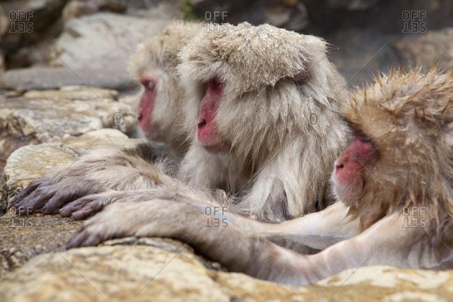 Three contemplative Japanese macaques taking a hot bath in Jigokudani Monkey Park, Nagano Prefecture, Japan.