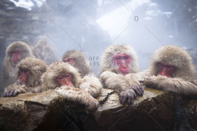 Group of contemplative Japanese macaques taking a hot bath in Jigokudani Monkey Park, Nagano Prefecture, Japan.