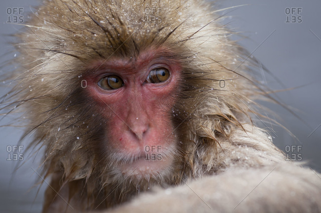 Close up of a young Japanese macaque sitting in a hot spring in Jigokudani Monkey Park, Nagano Prefecture, Japan.