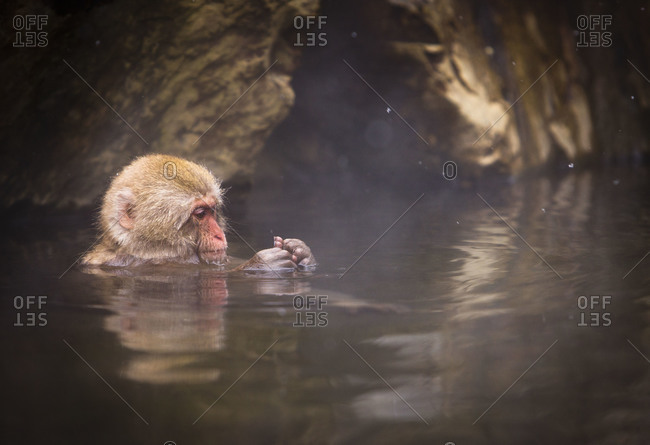 Japanese macaque taking hot  in Jigokudani Monkey Park, Nagano Prefecture, Japan