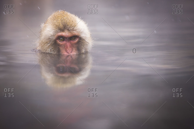 A young Japanese Macaque Monkey relaxing in the hot spring in Jigokudani Monkey Park, Nagano Prefecture, Japan