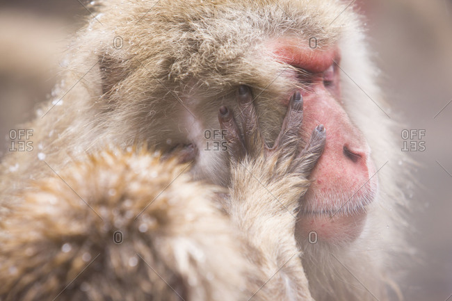 Side view of a Japanese macaque monkey being groomed in the hot  in Jigokudani Monkey Park, Nagano Prefecture, Japan