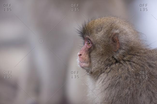 Side view of an infant Snow Monkey in Jigokudani Monkey Park, Nagano Prefecture, Japan.