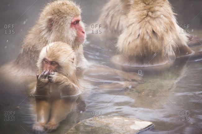 Japanese macaque family taking hot  in Jigokudani Monkey Park, Nagano Prefecture, Japan