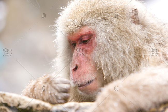 Portrait of a red faced, alpha male Japanese macaque monkey in Jigokudani Monkey Park, Nagano Prefecture, Japan.