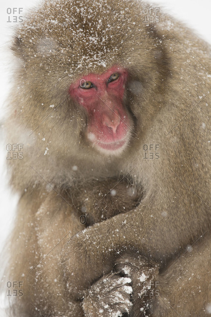 Japanese macaque mother and child embracing in Jigokudani Monkey Park, Nagano Prefecture, Japan