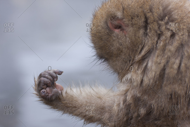 Side view of a young Snow Monkey grooming itself n Jigokudani Monkey Park, Nagano Prefecture, Japan.