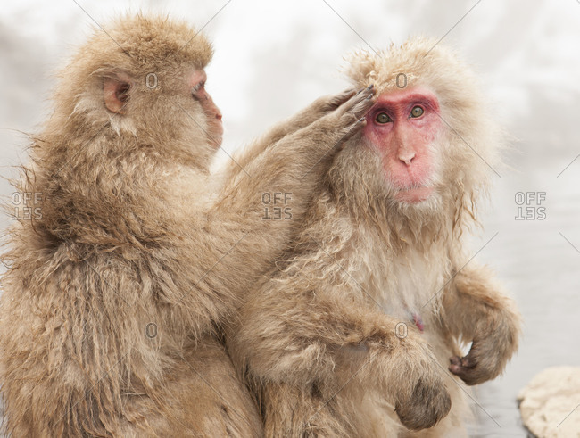 Japanese macaque grooming each other in Jigokudani Monkey Park, Nagano Prefecture, Japan.
