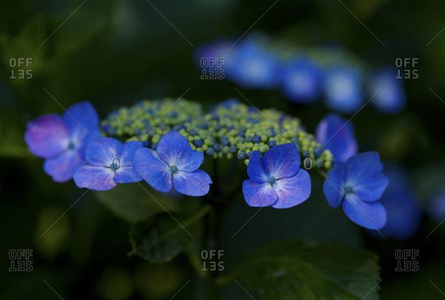Vivid blue hydrangea blossom in Jindai Botanical Garden, Tokyo, Japan.