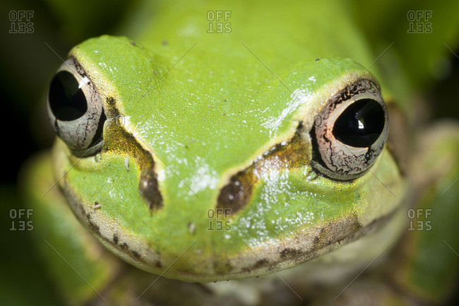 Close up of Japanese Tree Frog in Jindai Botanical Garden, Tokyo, Japan.
