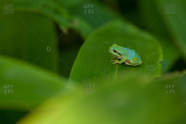 Japanese Tree Frog sitting on a leaf in Ninohe District, Iwate, Japan.
