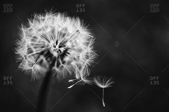 Close up of dandelion blowball and flying seeds