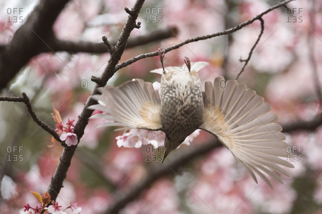 Brown-eared Bulbul with wings spread at Shinjuku Gyoen park in Tokyo, Japan