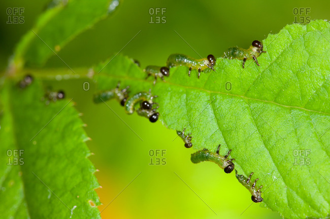 Tiny caterpillars on green leaf from above