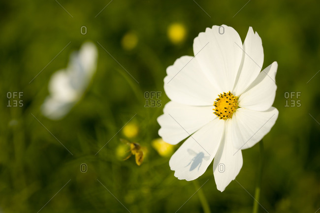 Close up of cosmos white flower