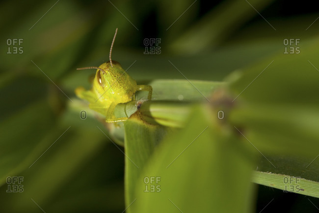 Close up of grasshopper on plant from above