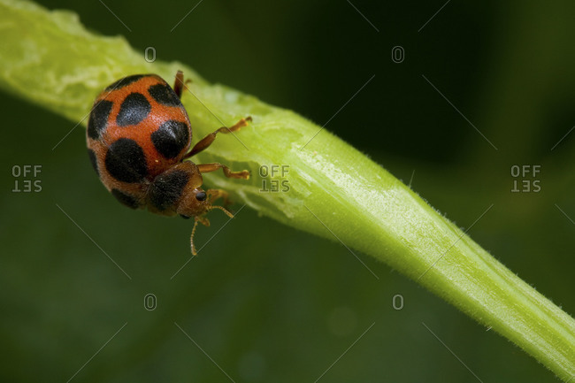 Close up of small hairy ladybird