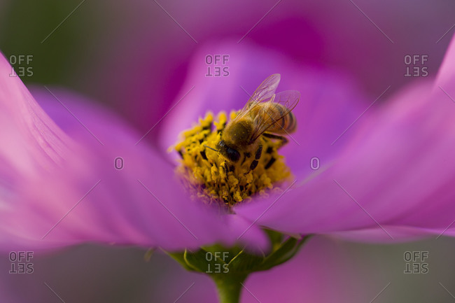 Close up of bee on pink cosmos flower