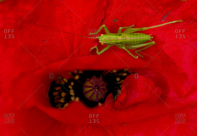 Close up of grasshopper sitting on Corn Poppy from above