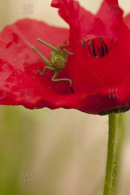 Close up of grasshopper sitting on Corn Poppy petal
