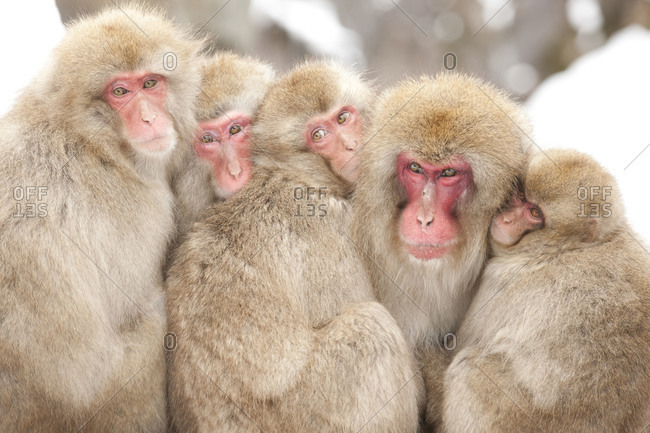 The Alpha Male Snow Monkey  with one of his kids and a few of his harem at Jigokudani Monkey Park in Nagano Prefecture, Japan