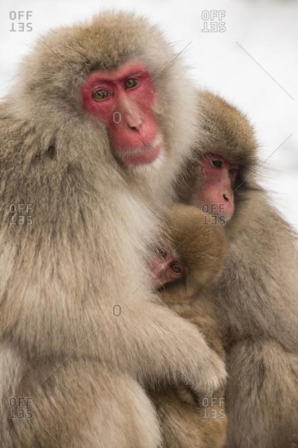 Close up of Snow Monkeys at Jigokudani Monkey Park in Nagano Prefecture, Japan