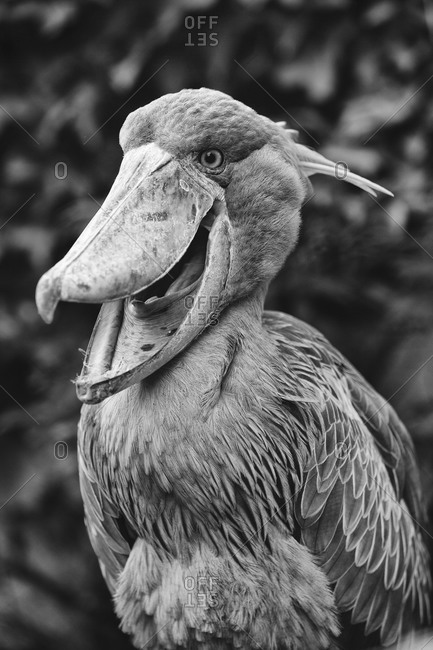 Black and white portrait of shoebill in Ueno Zoo, Tokyo