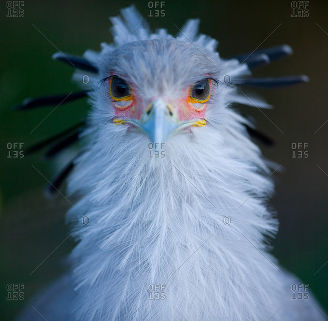Portrait of a secretary bird in Ueno Zoo, Tokyo, Japan