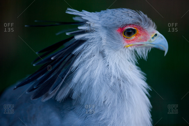 Close up of a secretary bird in Ueno Zoo, Tokyo, Japan